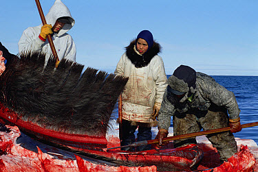 Bowhead Whale (Balaena mysticetus) has baleen removed by Inupiat Eskimos, Barrow, Alaska  -  Flip Nicklin