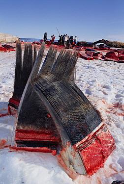 Bowhead Whale (Balaena mysticetus) harvested baleen, Barrow, Alaska  -  Flip Nicklin