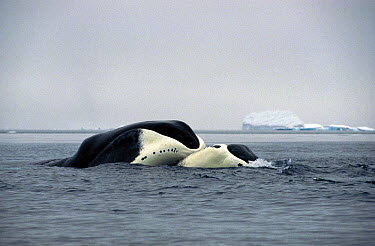 Bowhead Whale (Balaena mysticetus) pair nuzzling each other, Isabella Bay, Baffin Island, Nunavut Territory, Canada  -  Flip Nicklin