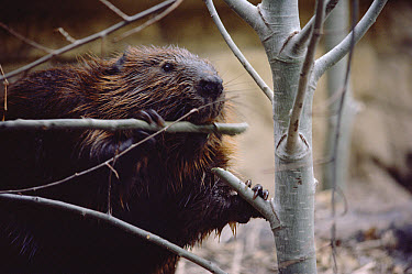 American Beaver (Castor canadensis) cutting branch, Minnesota  -  Jim Brandenburg