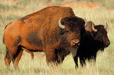 American Bison (Bison bison) male and female, South Dakota  -  Jim Brandenburg