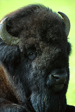 American Bison (Bison bison) male, South Dakota  -  Jim Brandenburg