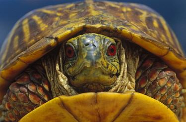Western Box Turtle (Terrapene ornata) retracted in shell, South Dakota  -  Jim Brandenburg