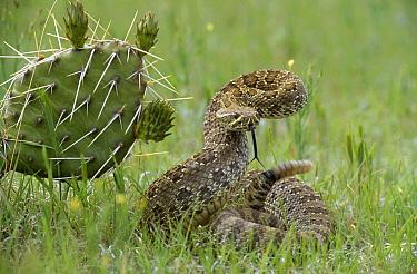 Western Rattlesnake (Crotalus viridis) in defensive posture, South Dakota  -  Jim Brandenburg
