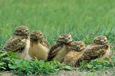 Burrowing Owl (Athene cunicularia) group at burrow entrance, South Dakota  -  Jim Brandenburg