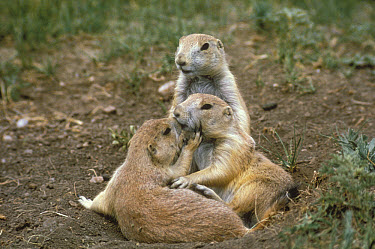 Black-tailed Prairie Dog (Cynomys ludovicianus) pair nuzzling to communicate, South Dakota  -  Jim Brandenburg