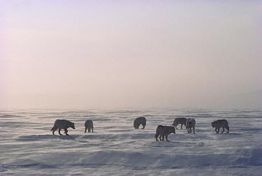 Arctic Wolf (Canis lupus) pack on ice field, Ellesmere Island, Nunavut, Canada  -  Jim Brandenburg