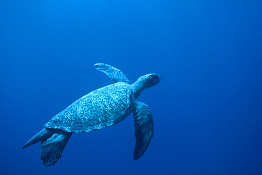 Green Sea Turtle (Chelonia mydas) swimming, Cocos Island, Costa Rica