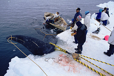 Bowhead Whale (Balaena mysticetus) hunters haul captured whale onto ice, Barrow, Alaska  -  Flip Nicklin