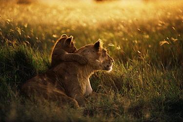 African Lion (Panthera leo) mother with cub at dawn, Serengeti National Park, Tanzania  -  Mitsuaki Iwago