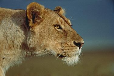 African Lion (Panthera leo) female watching for prey, Serengeti National Park, Tanzania  -  Mitsuaki Iwago