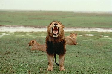 African Lion (Panthera leo) male roaring after rainstorm, Serengeti National Park, Tanzania  -  Mitsuaki Iwago