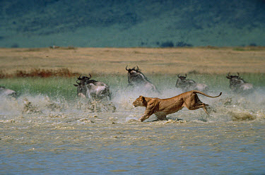 African Lion (Panthera leo) female chasing Blue Wildebeest (Connochaetes taurinus) group in river, Serengeti National Park, Tanzania  -  Mitsuaki Iwago