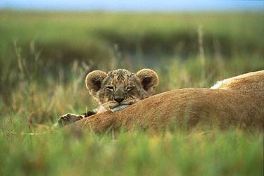 African Lion (Panthera leo) three month old cub sleeping on mother's leg, Ngorongoro Conservation Area, Tanzania  -  Mitsuaki Iwago