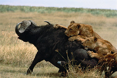 African Lion (Panthera leo) females working together to take down a Cape Buffalo (Syncerus caffer), Serengeti National Park, Tanzania  -  Mitsuaki Iwago