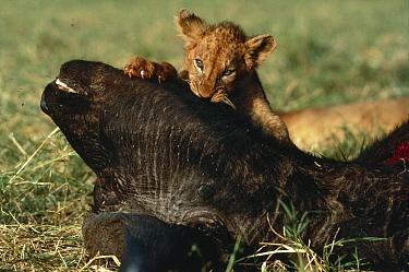 African Lion (Panthera leo) cub feeding on Cape Buffalo (Syncerus caffer) carcass, Serengeti National Park, Tanzania  -  Mitsuaki Iwago