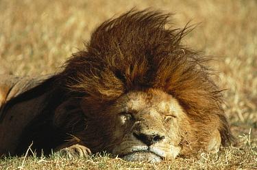 African Lion (Panthera leo) male sleeping, Serengeti National Park, Tanzania  -  Mitsuaki Iwago
