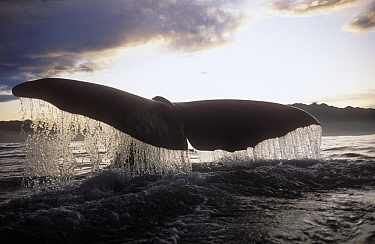 Sperm Whale (Physeter macrocephalus) tail at sunset, New Zealand