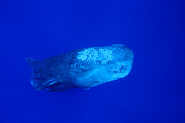 Sperm Whale (Physeter macrocephalus) with Remoras (Remora remora)  -  Flip Nicklin