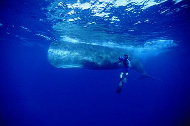 Sperm Whale (Physeter macrocephalus) with film maker Rick Rosenthal, Dominica  -  Flip Nicklin