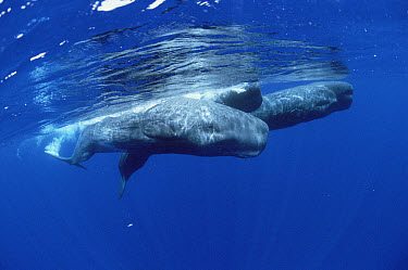 Sperm Whale (Physeter macrocephalus) social group at water surface  -  Flip Nicklin