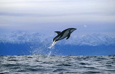 Dusky Dolphin (Lagenorhynchus obscurus) jumping, New Zealand  -  Flip Nicklin