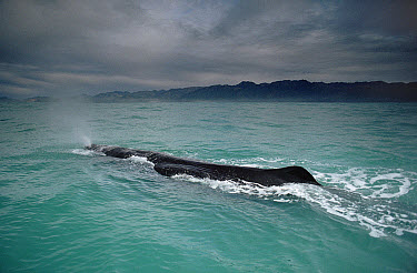 Sperm Whale (Physeter macrocephalus) surfacing, New Zealand  -  Flip Nicklin