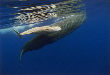 Sperm Whale (Physeter macrocephalus) mother and albino baby swimming, Portugal