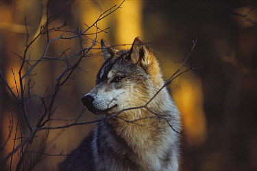 Timber Wolf (Canis lupus) in autumn woods, Minnesota  -  Jim Brandenburg