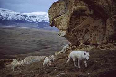 Arctic Wolf (Canis lupus) juvenile male babysitting pups, Ellesmere Island, Nunavut, Canada  -  Jim Brandenburg