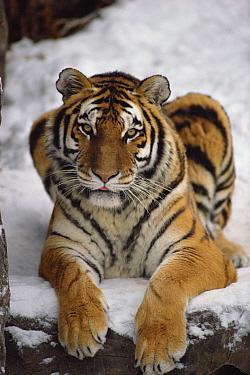 Siberian Tiger (Panthera tigris altaica) portrait, Asia  -  Jim Brandenburg