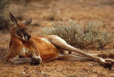 Red Kangaroo (Macropus rufus) male lounging, Australia  -  Mitsuaki Iwago