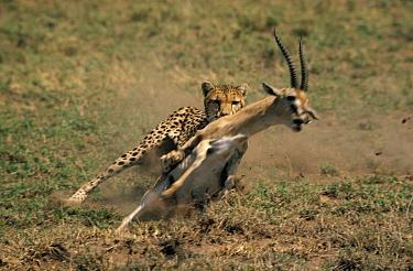 Cheetah (Acinonyx jubatus) chasing Grant's Gazelle (Nanger granti), Serengeti, Tanzania  -  Mitsuaki Iwago