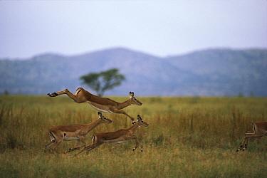 Impala (Aepyceros melampus) trio running and leaping, Serengeti  -  Mitsuaki Iwago