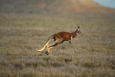 Red Kangaroo (Macropus rufus) male hopping, Australia  -  Mitsuaki Iwago