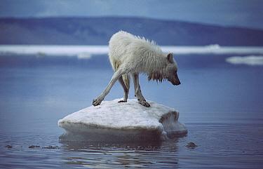 Arctic Wolf (Canis lupus) on ice floe, Ellesmere Island, Nunavut, Canada  -  Jim Brandenburg