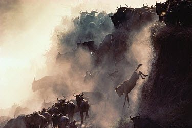 Blue Wildebeest (Connochaetes taurinus) herd descending cliff during migration, Serengeti  -  Mitsuaki Iwago