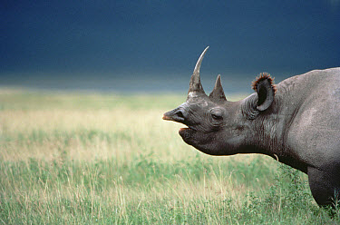 Black Rhinoceros (Diceros bicornis) calling in tall grass, Ngorongoro Crater, Tanzania  -  Mitsuaki Iwago