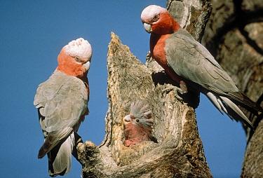 Galah (Eolophus roseicapilla) pair in tree nest cavity with chick, Australia  -  Mitsuaki Iwago