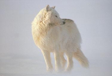 Arctic Wolf (Canis lupus) in blizzard, Ellesmere Island, Nunavut, Canada  -  Jim Brandenburg
