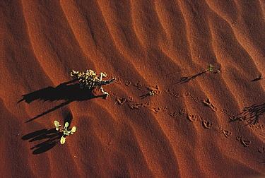 Thorny Devil (Moloch horridus) walking across sand, Australia  -  Mitsuaki Iwago