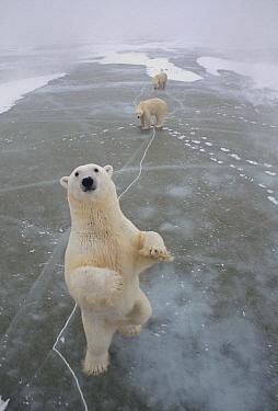 Polar Bear (Ursus maritimus) trio on icefield, Churchill, Manitoba, Canada  -  Michio Hoshino