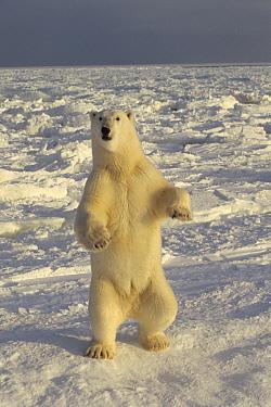 Polar Bear (Ursus maritimus) standing on icefield, Churchill, Manitoba, Canada  -  Michio Hoshino
