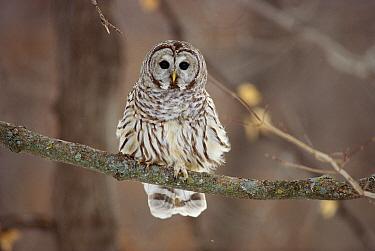 Barred Owl (Strix varia) sitting on branch, Minnesota  -  Jim Brandenburg