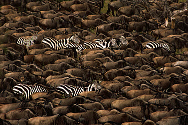 Blue Wildebeest (Connochaetes taurinus) and Burchell's Zebra (Equus burchellii) herd migrating, Serengeti  -  Mitsuaki Iwago
