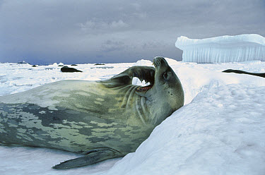 Weddell Seal (Leptonychotes weddellii) scratching chin, Antarctica  -  Mitsuaki Iwago