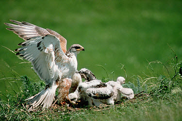 Ferruginous Hawk (Buteo regalis) and chicks on prairie nest, South Dakota  -  Jim Brandenburg