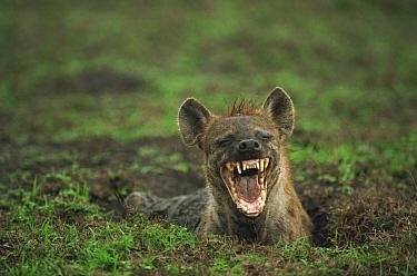 Spotted Hyena (Crocuta crocuta) laughing, Serengeti  -  Mitsuaki Iwago