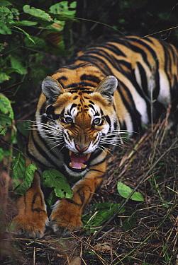 Bengal Tiger (Panthera tigris tigris) growling, India  -  Mitsuaki Iwago