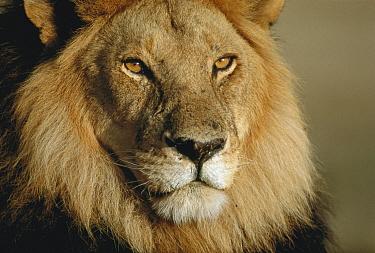 African Lion (Panthera leo) male portrait, Serengeti National Park, Tanzania  -  Mitsuaki Iwago
